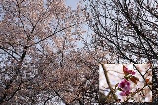 2018.03.30 実相院 ソメイヨシノと八重桜.jpg