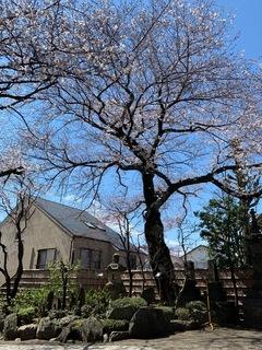 実相院 ソメイヨシノ_2019.04.01.jpg