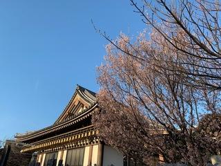 実相院 啓翁桜_2019.03.21.JPG