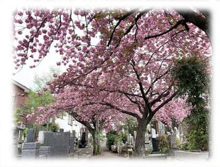 2021.04.06 沼袋 実相院 八重桜.jpg