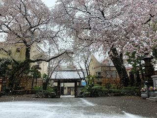 実相院 雪と桜_2020.03.29.jpeg